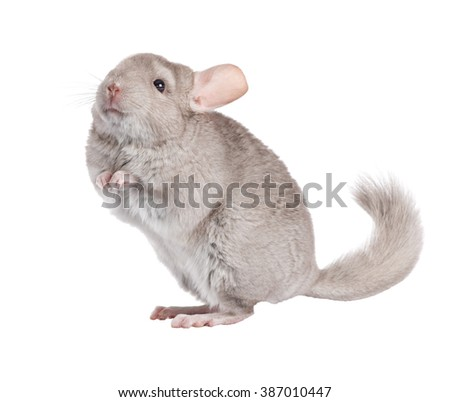 Beige chinchilla isolated on white background. series of images.