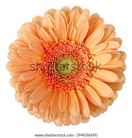 beige gerbera on a white background - stock photo