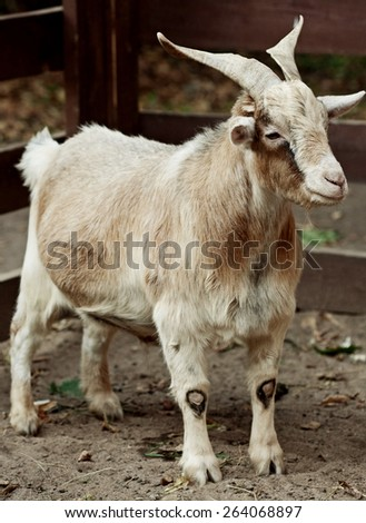 beige goat in zoo, summer day