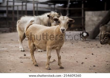 Beige goat on african farm - stock photo