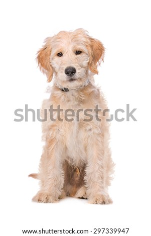 Beige Labradoodle dog in front of a white background
