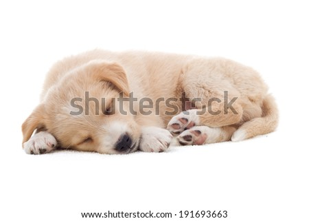 beige puppy sleeping