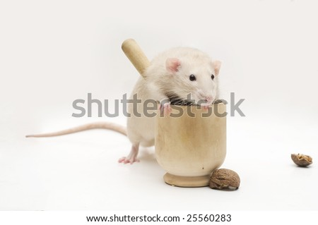 Beige rat with mortar - stock photo