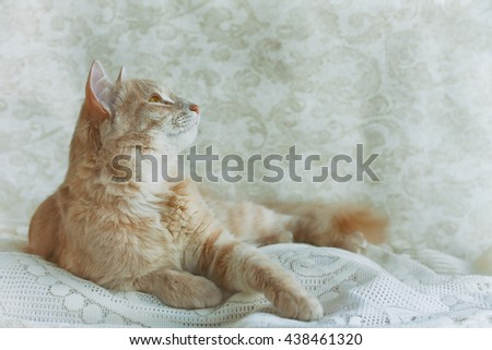beige young cat looking up on lace veil, retro style - stock photo