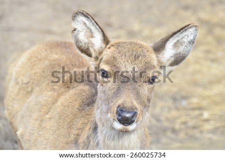 beige young pretty fawn looking - stock photo