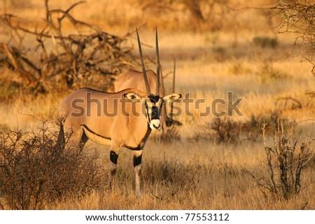 Beisa oryx antelope standing in the bush of Samburu, Kenya - stock photo