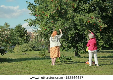 BELARUS, MINSK- AUGUST 11 2013: retired women gather fruits of red ash tree in Belarus, Minsk on August 11, 2013.