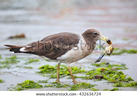 Belcher's Gull (Larus belcheri) eating crab on the beach of Paracas Bay, Peru. Paracas Bay is well known for its abundant wildlife. - stock photo