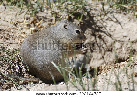 Belding's Ground Squirrel, Deschutes County, Central Oregon