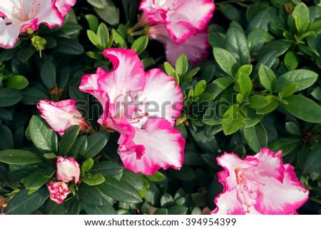 Belgian azaleas amazing white flower pink stock photo royalty free belgian azaleas amazing white flower with pink edge blooming rhododendron bergian azalea hybrids mightylinksfo