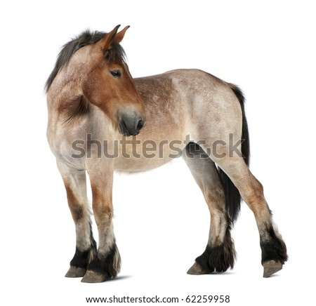 Belgian Heavy Horse foal, Brabancon, a draft horse breed, 13 months old, standing in front of white background - stock photo