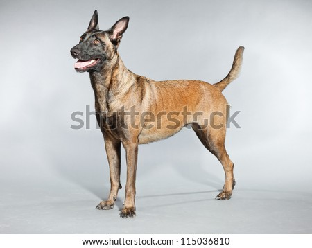 Belgian Malinois. Belgian Shepherd Dog. Studio shot isolated on grey background. Great nose for explosive and narcotics detection. Tracking of human suspects. Police work. K9.