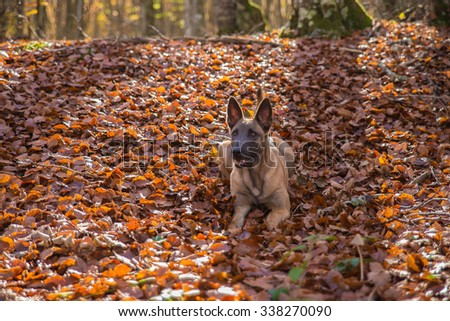 Belgian Malinois dog, outside in the forest, autumn colors
