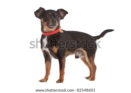 Belgian Shepherd Dog (Laekenois) in front of a white background