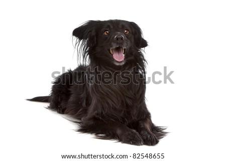 Belgian Shepherd Dog (Laekenois) in front of a white background - stock photo