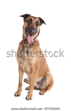 Belgian Shepherd Dog Malinois in front of a white background