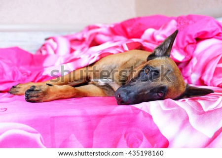 Belgian Shepherd dog Malinois lying on owner's bed