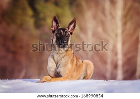 Belgian Shepherd dog on a winter walk - stock photo