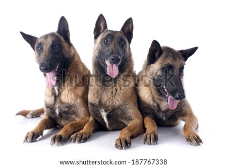 belgian shepherds in front of white background