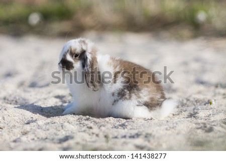 belier breed Bunny freely in the field