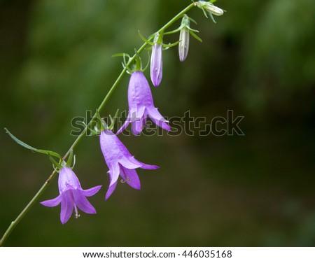 Bell flower - stock photo