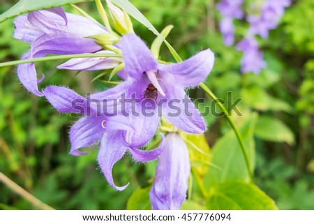 Bell flower and the insect it eats nectar. Beautiful purple flower macro in the meadow. The world wildlife stinging insects. - stock photo