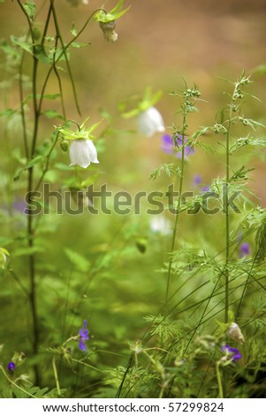 Bell flower. Codonopsis clematidea (Schrenk) Cklarke. | Campanulaceae - stock photo