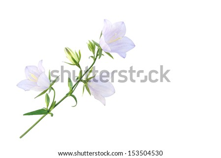 Bell-flower isolated on white