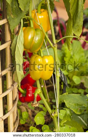 bell pepper tree, colourful bell pepper growing in the house garden - stock photo