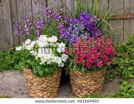 Bellflowers and Campanula as a colorful garden decoration, makes beautiful accents in the summer time.