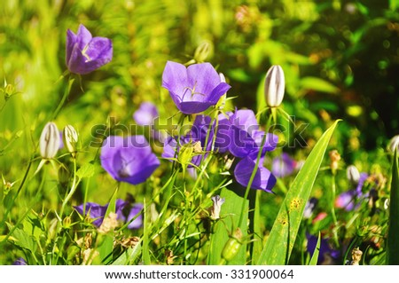 Bellflowers - Campanula carpatica - in the meadow under bright sunlight. Summer landscape. Focus at the central bellflower - stock photo