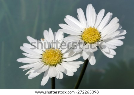 Bellis perennis - stock photo