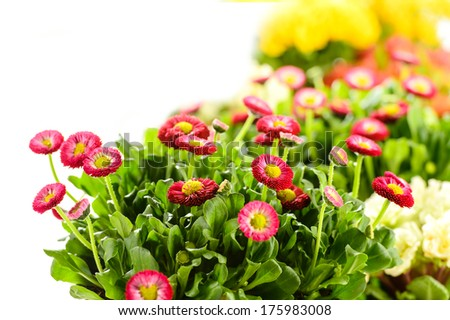 Bellis potted plant spring flower on white background