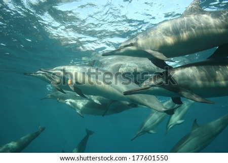 Below a pod of spinner dolphins, stenella longirostris - stock photo