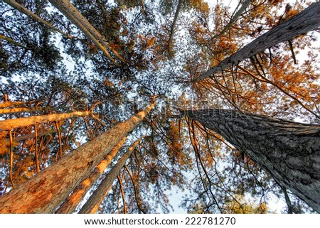 Below pine tree in forest at fall - stock photo