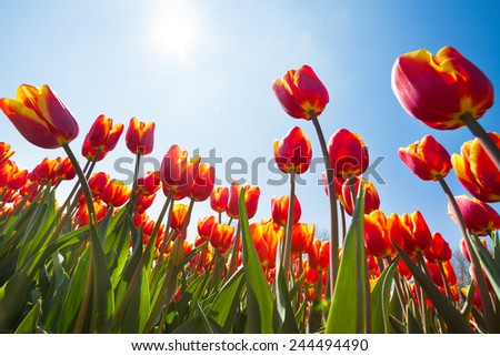 Below view of beautiful orange tulips, Netherlands - stock photo