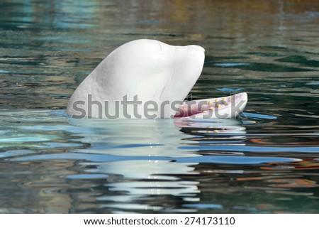 Beluga whale or white whale (Delphinapterus leucas) - stock photo