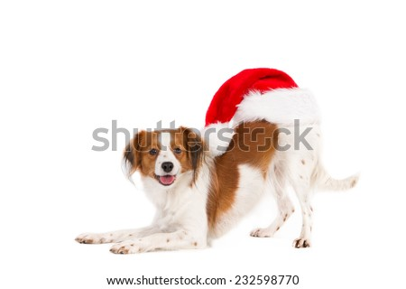 Bending Kooiker Hound with a Santa Hat on backside, isolated on white - stock photo
