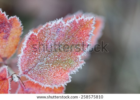 Beneath crystals of hoarfroast,  a leaf's autumn colors glisten against the dulling forest. - stock photo