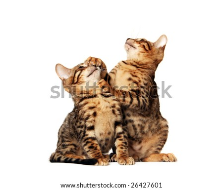 Bengal brothers playing - stock photo