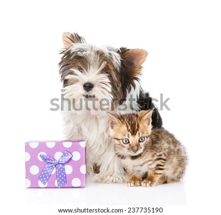 bengal cat and Biewer-Yorkshire terrier puppy with gift box. isolated on white background - stock photo