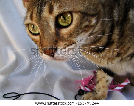 Bengal cat close up with magnificent eyes on light background - stock photo