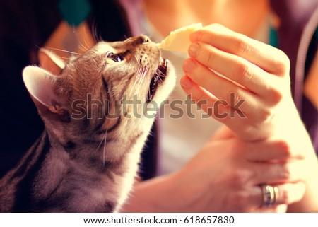 Bengal cat eating cheese