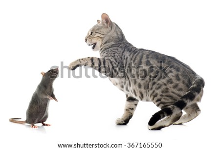 bengal cat hunting rat in front of white background - stock photo