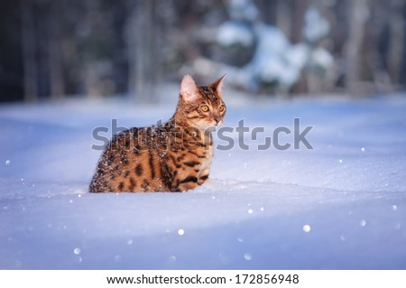 Bengal cat in the snow - stock photo