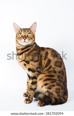 Bengal cat isolated