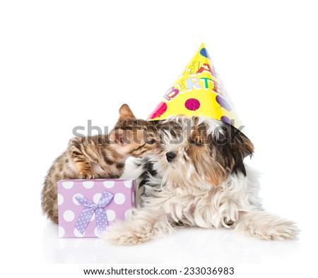 bengal cat kissing Biewer-Yorkshire terrier puppy with birthday hat. isolated on white background