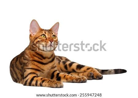 bengal cat lies on white background and looking up - stock photo