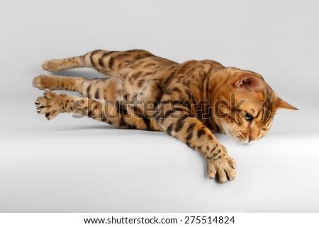 Bengal Cat lies on White background and raising Paw - stock photo
