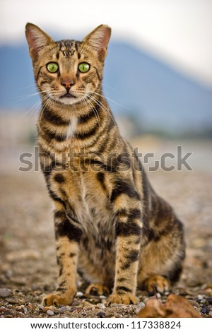 Bengal cat looking straight - stock photo
